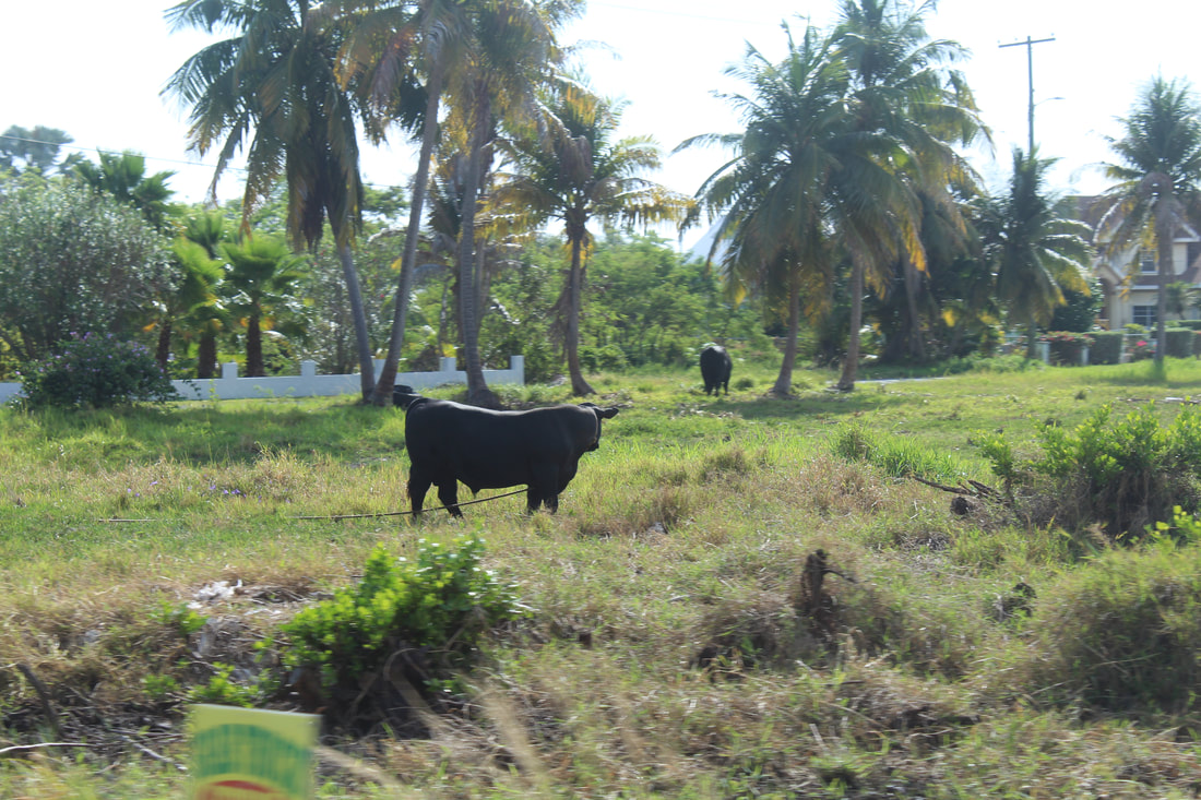 Cows in Grand Cayman